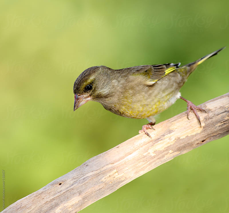 European greenfinch on a branch by Marcel for Stocksy United