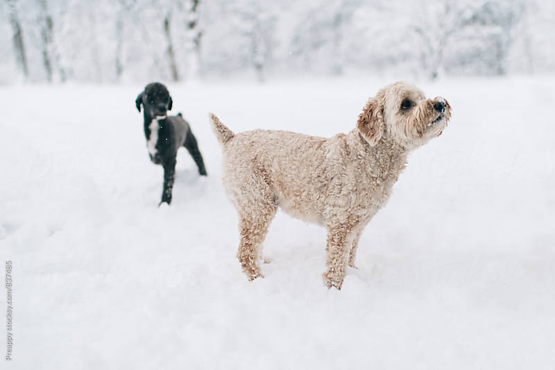 Two poodles playing in fresh fallen snow by Preappy for Stocksy United