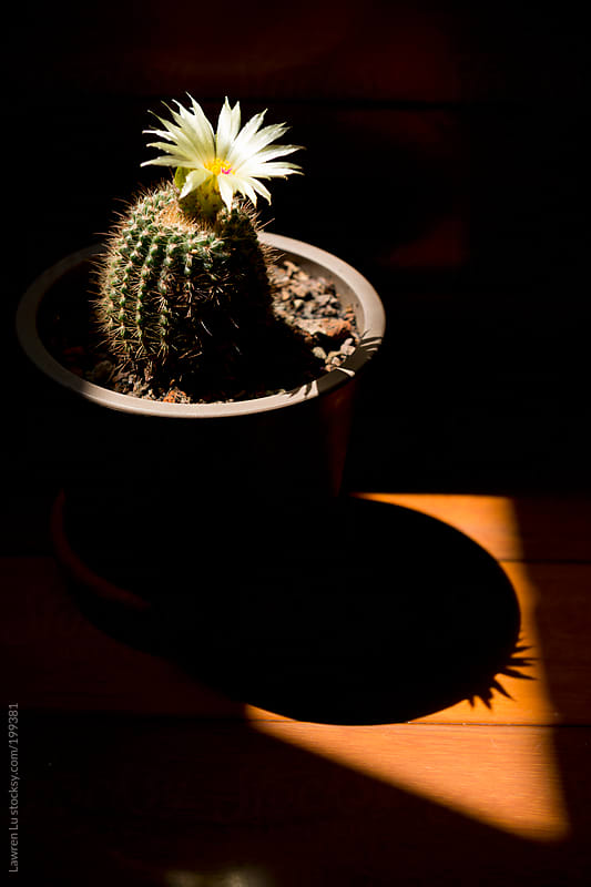 Beautiful potted cactus in light and shadow by Lawren Lu for Stocksy United