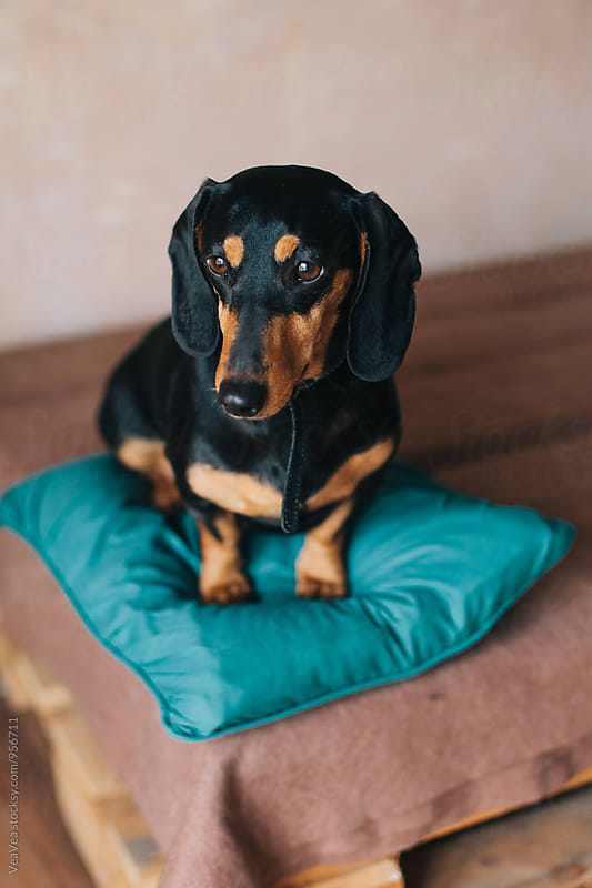 Dachshund sitting on a pillow by Marija Mandic for Stocksy United