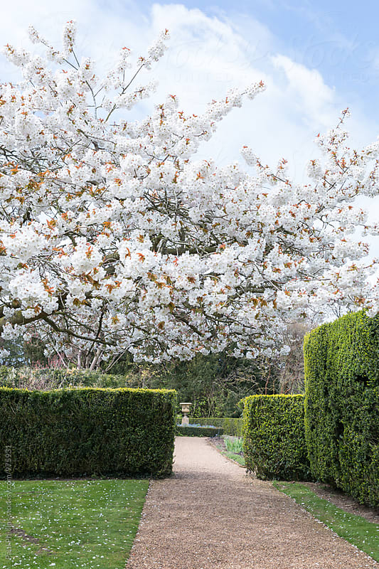 Tree in full blossom in springtime. by Paul Phillips for Stocksy United