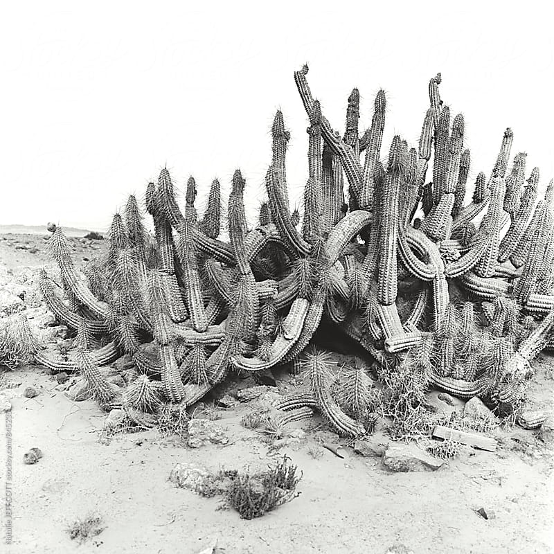 Black and white medium square format film image of old cactus in the desert of Chile  by Natalie JEFFCOTT for Stocksy United