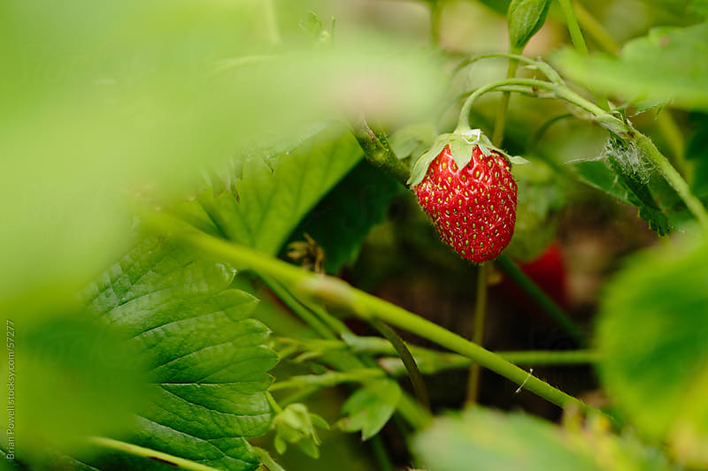 single unpicked strawberry in patch by Brian Powell for Stocksy United
