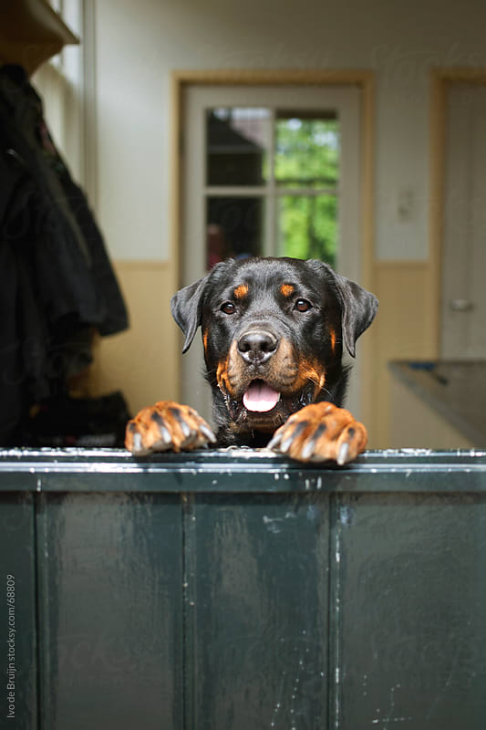 A cute dog with his tongue out leaning against a door while watching what is going on outside by Ivo de Bruijn for Stocksy United