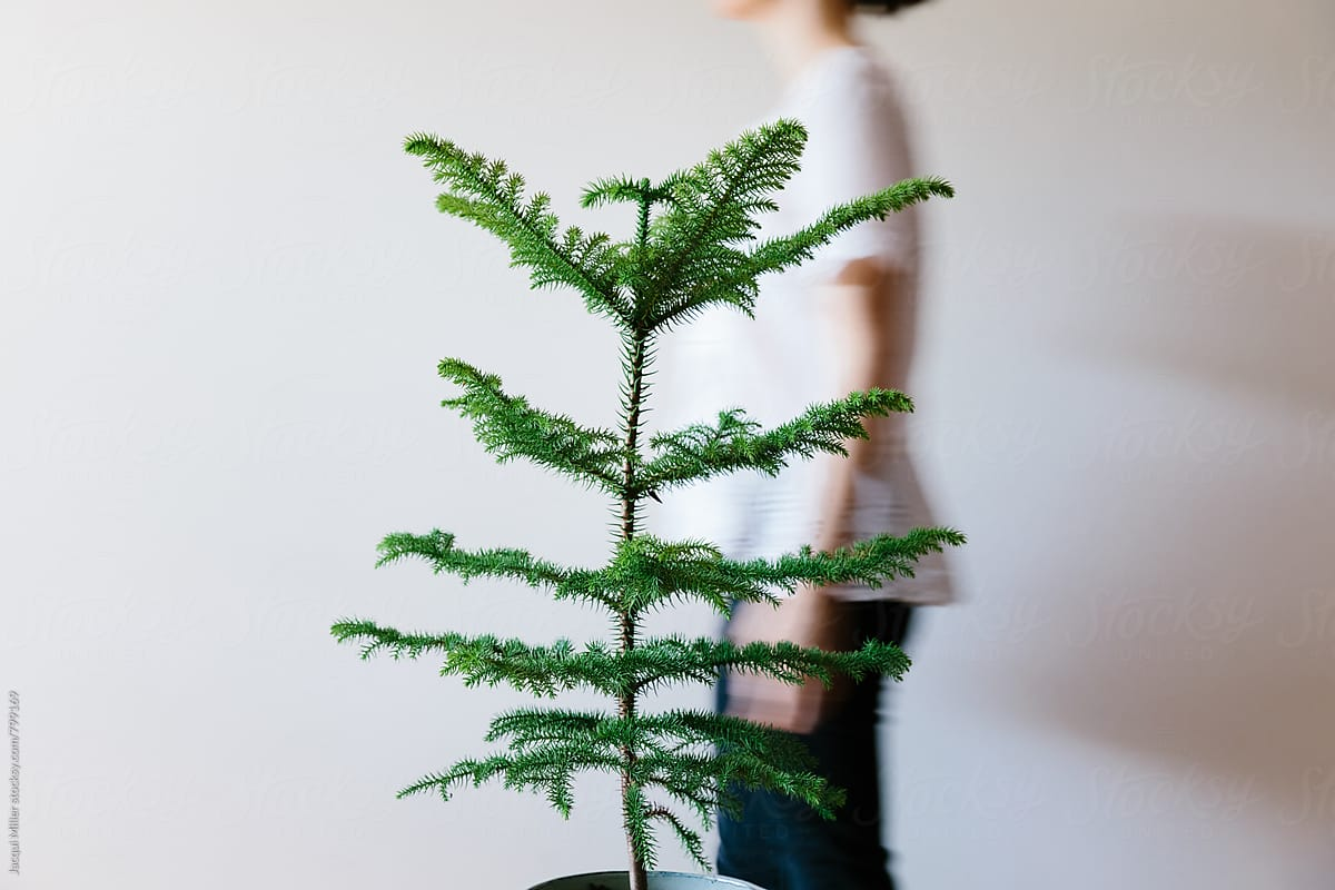 Movement Shot Of Woman Walking Behind A Small Norfolk Island Pine ...