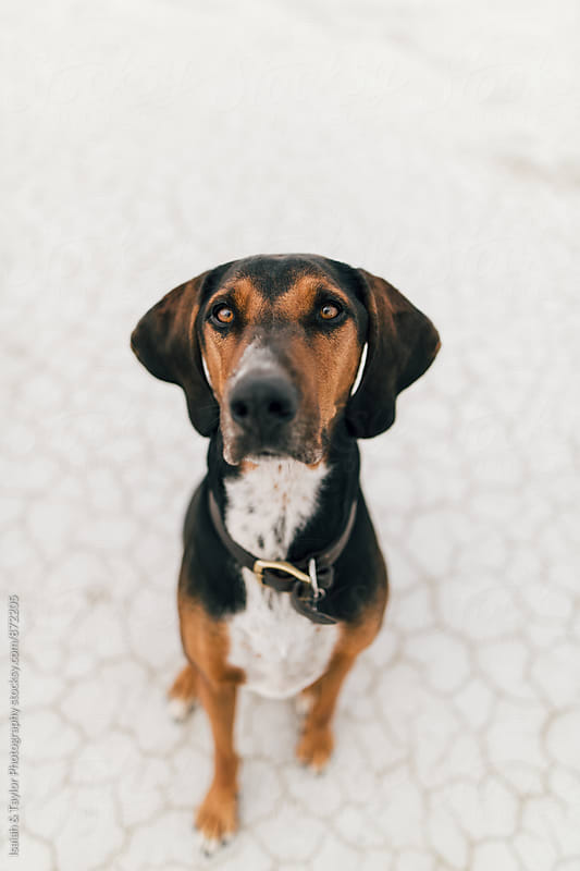 Obedient dog sitting by Isaiah & Taylor Photography for Stocksy United