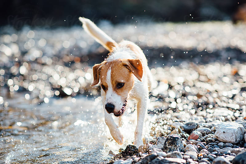 Dog running through the water by Boris Jovanovic for Stocksy United