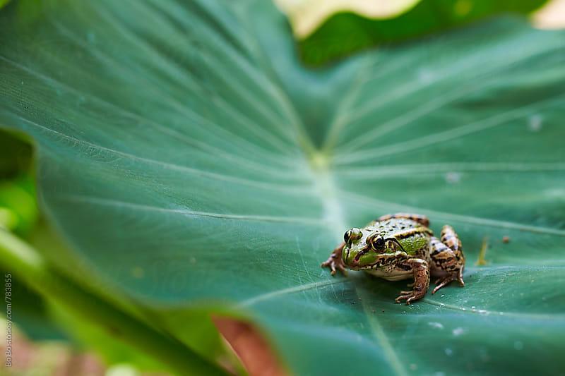 green frog in leaf by Bo Bo for Stocksy United