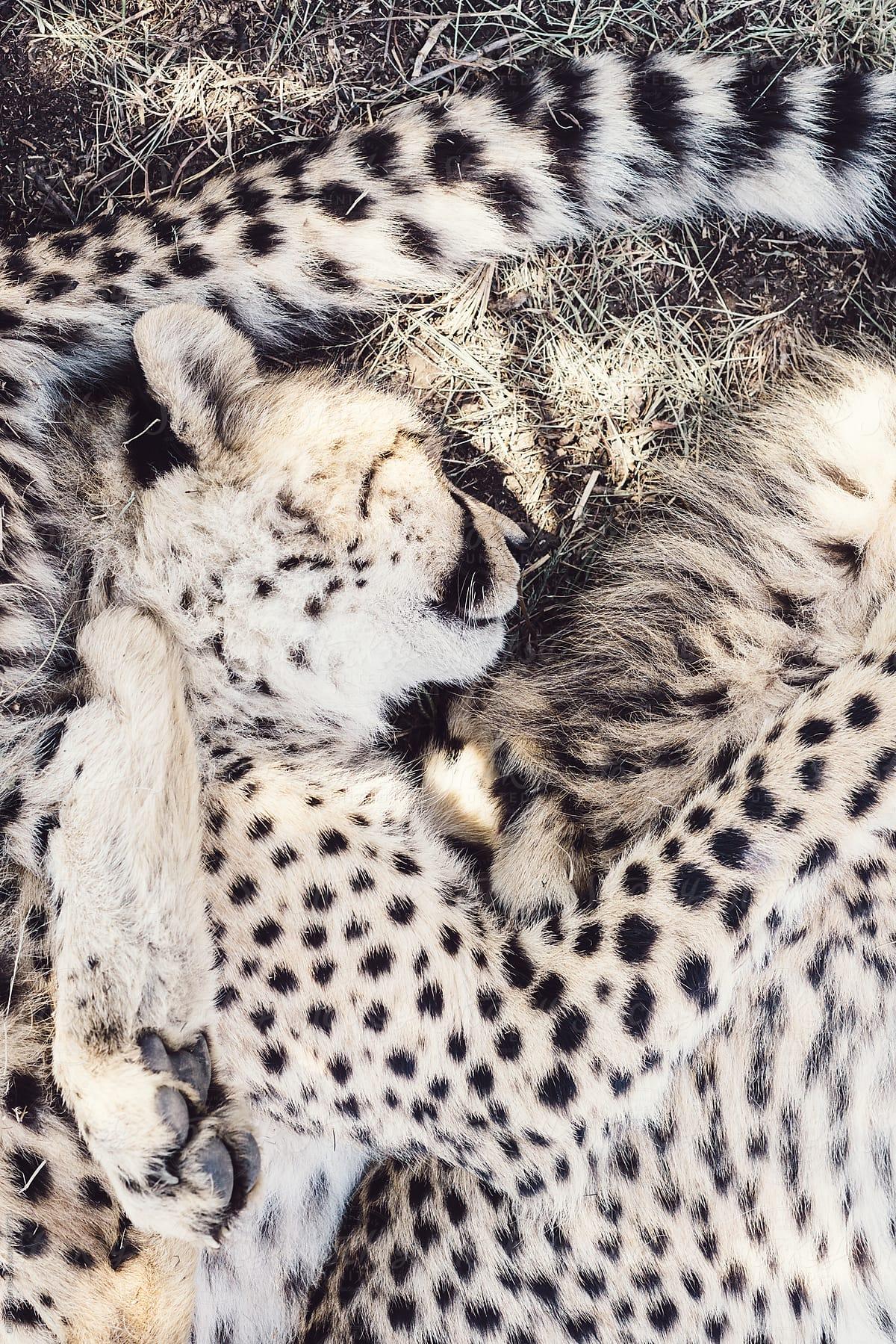 cheetah cubs sleeping stocksy united