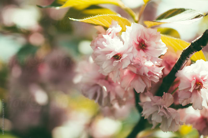 A pink flowering tree in spring by Kelli Seeger Kim for Stocksy United