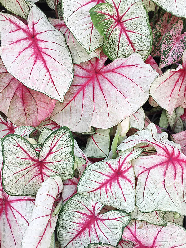 Caladium leaves  by Marta Locklear for Stocksy United