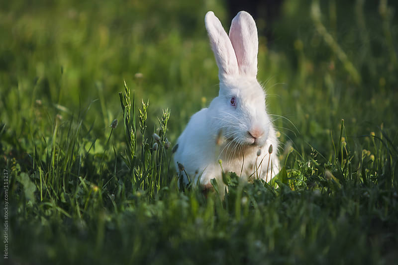 A Rabbit in the Grass by Helen Sotiriadis for Stocksy United