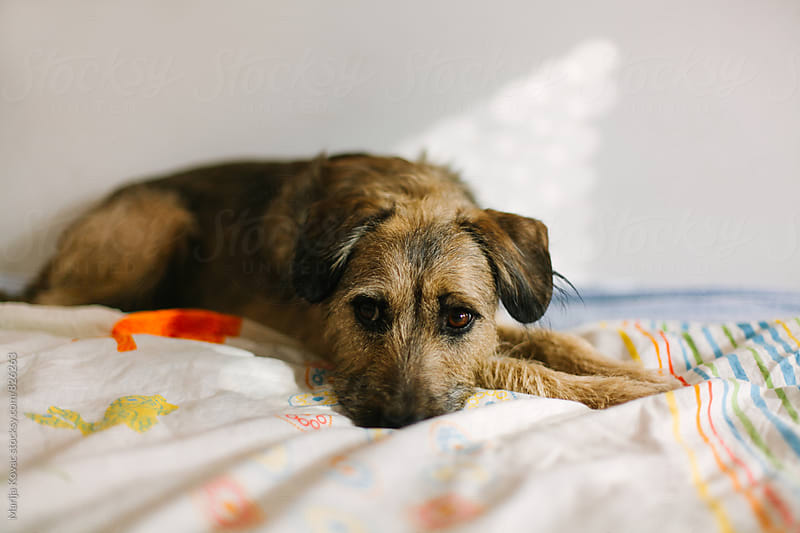 Cute dog lying on a colorful bed - horizontal by Marija Kovac for Stocksy United
