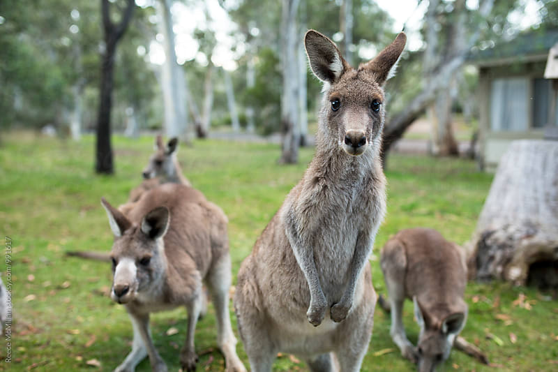 Kangaroos in a campground by Reece McMillan for Stocksy United