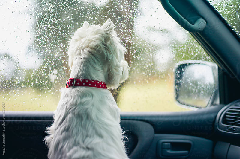 White dog looking out a raindrop covered car window by Angela Lumsden for Stocksy United