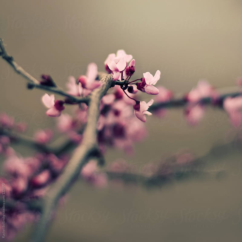 Newly sprouted pink cherry blossom branch against pale tan by Rachel Bellinsky for Stocksy United