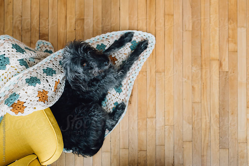 black dog lying a blanket by Léa Jones for Stocksy United
