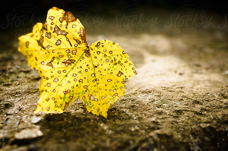A fallen leaf on the ground in Autumn sunlight by Suzi Marshall for Stocksy United