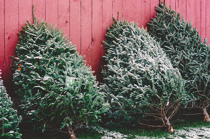 Christmas trees for sale and leaning against red barn wall by Deirdre Malfatto for Stocksy United