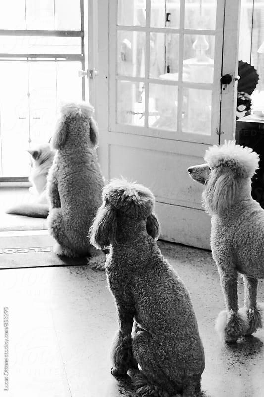 Group of poodles looking out a door by Lucas Ottone for Stocksy United