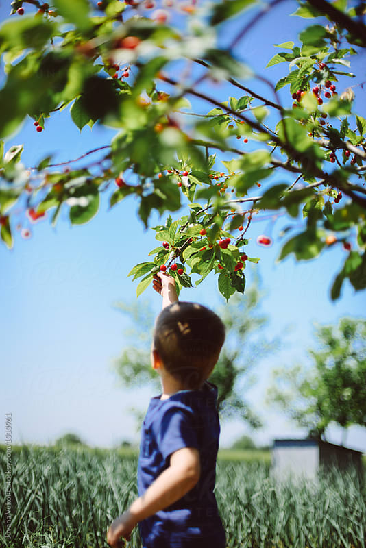 picking cherries by Jovana Vukotic for Stocksy United