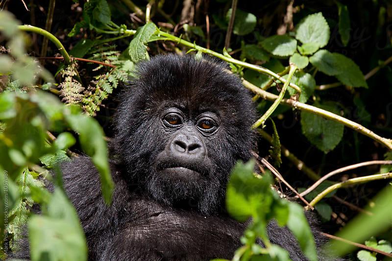 Rwanda - Volcanoes National Park, Virunga Mountains by Mark Pollard for Stocksy United