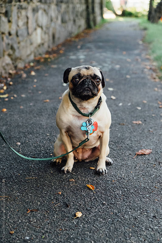 A cute pug puppy waiting waiting for a treat of cheese by J Danielle Wehunt for Stocksy United