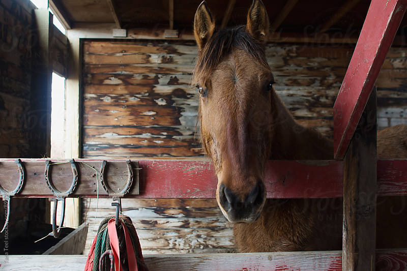 horse standing in stall looks at camera by Tana Teel for Stocksy United