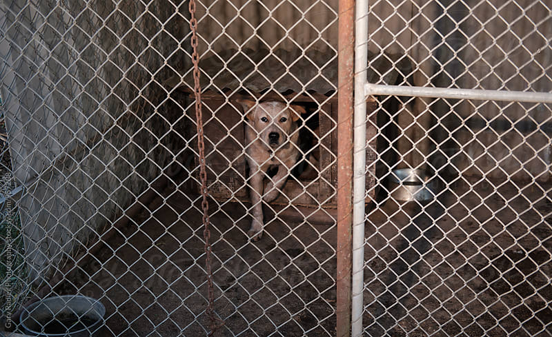 Caged Working Dog Looking at Camera,   by Gary Radler Photography for Stocksy United