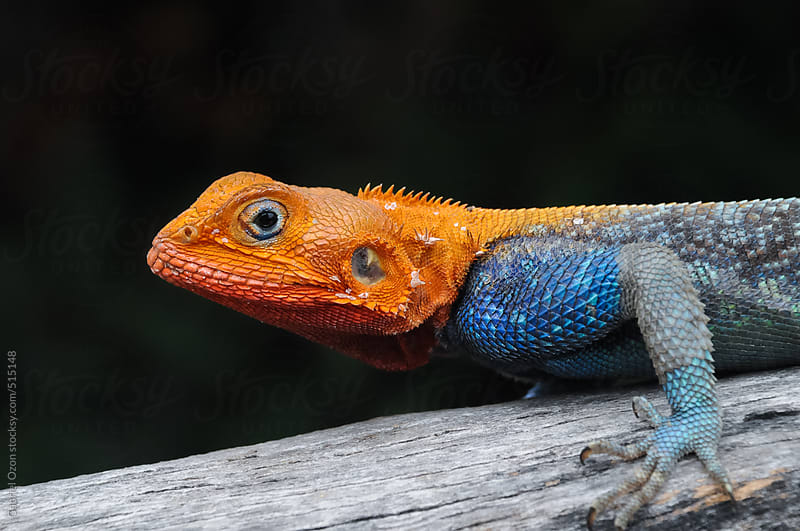 Red-headed Agama by Gabriel Ozon for Stocksy United