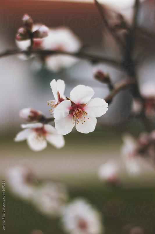 Cherry blossom in spring by Jovana Rikalo for Stocksy United