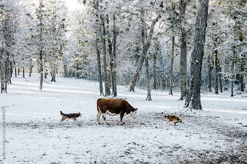 Two cowdogs rounding up a lone cow in the woods by Justin Mullet for Stocksy United