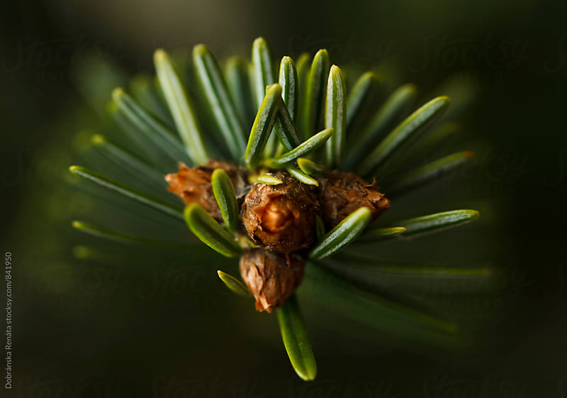 Pine Needles by Dobránska Renáta for Stocksy United