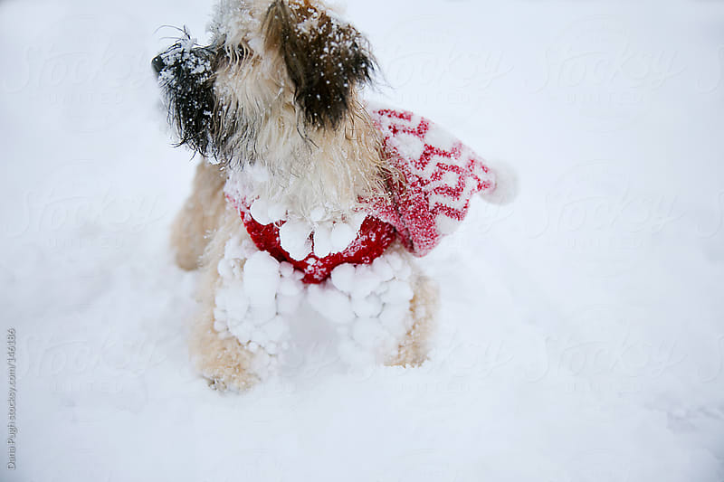 Cute Snow Covered Puppy by Dana Pugh for Stocksy United