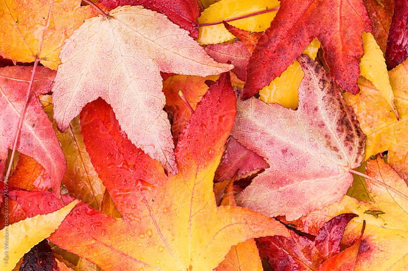 Autumn Sweet Gum and maple leaves by Mark Windom for Stocksy United