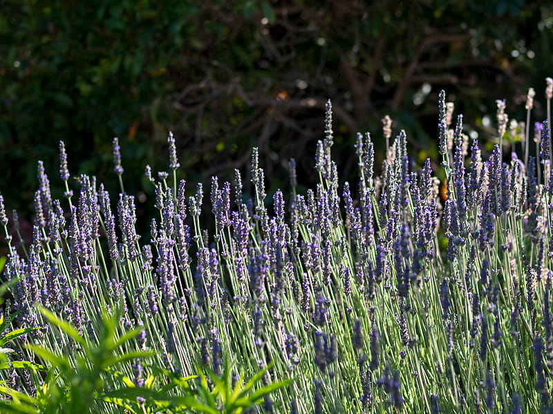 Flowering Lavender plants by DV8OR for Stocksy United