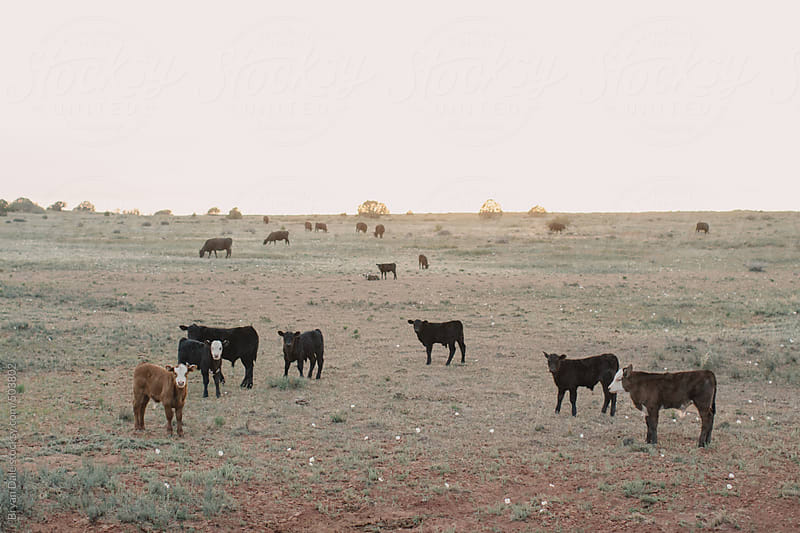 Cows in wilderness by Bryan Dale for Stocksy United