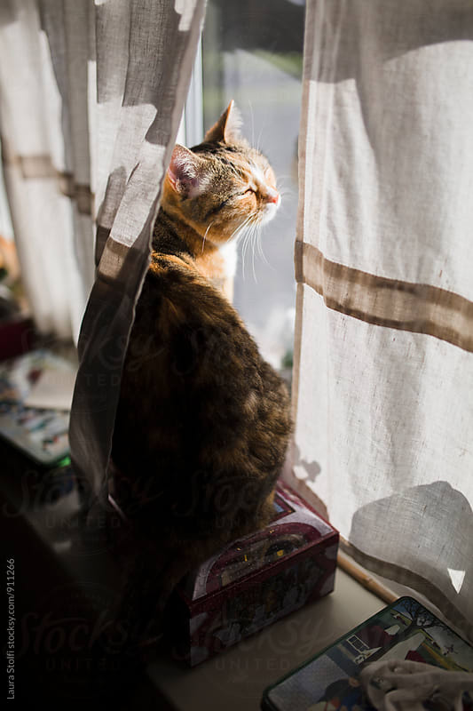 Tabby cat sitting on windowsill behind curtain and bathing in the sun by Laura Stolfi for Stocksy United