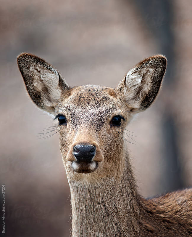 White Tailed Deer Closeup Portrait by Brandon Alms for Stocksy United