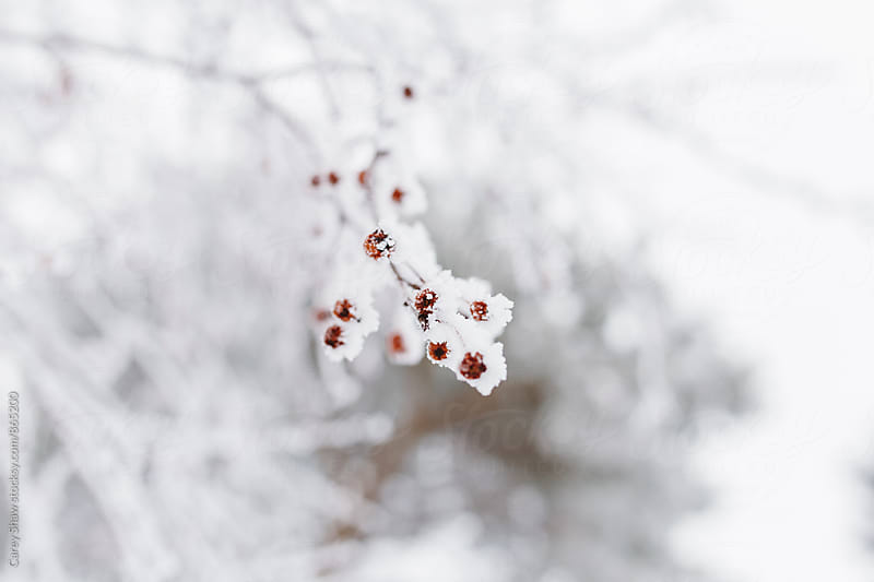 Frost covered berry tree in winter by Carey Shaw for Stocksy United