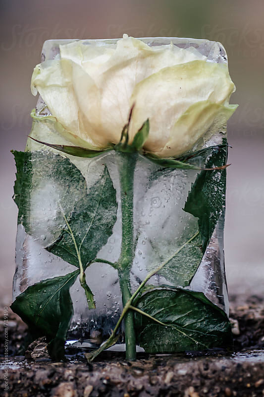 frozen white roses in a ice block  by Igor Madjinca for Stocksy United
