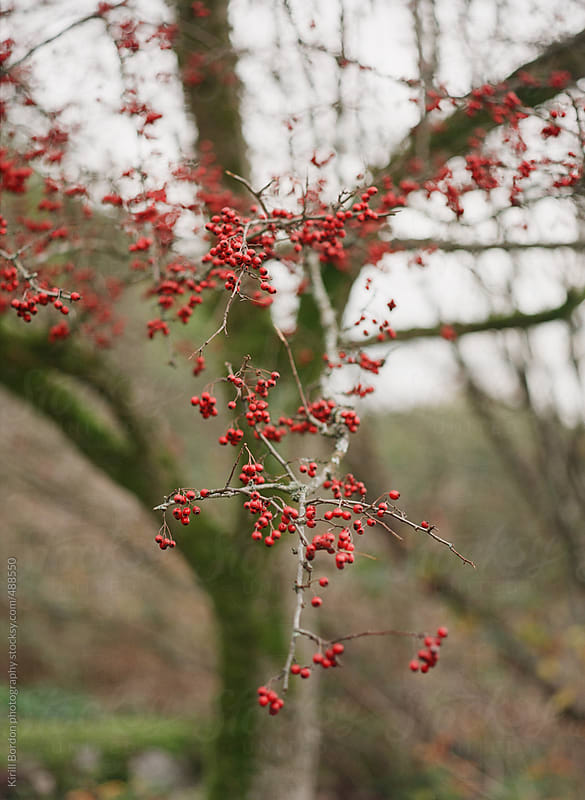 winterberries by Kirill Bordon photography for Stocksy United