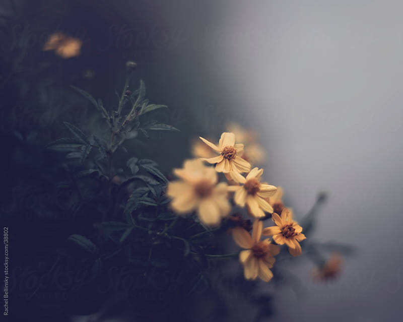 Yellow daisies against a grey background by Rachel Bellinsky for Stocksy United