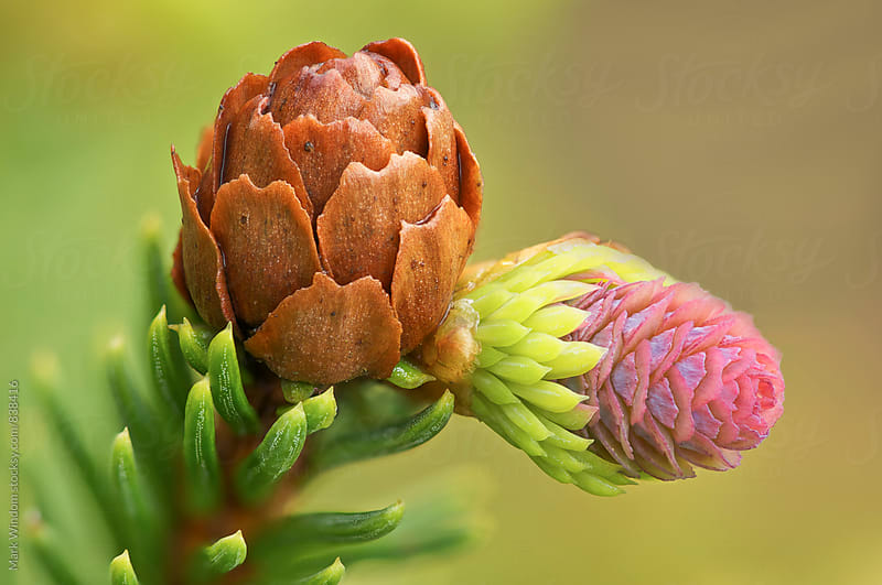 Norway spruce cones by Mark Windom for Stocksy United