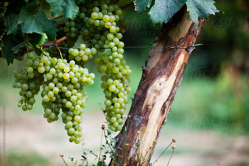 White Wine Grapes In Vineyard in Liguria, Italy by Sara Remington for Stocksy United