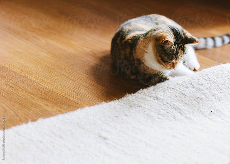Cat trying to grab something under woolen carpet by Laura Stolfi for Stocksy United