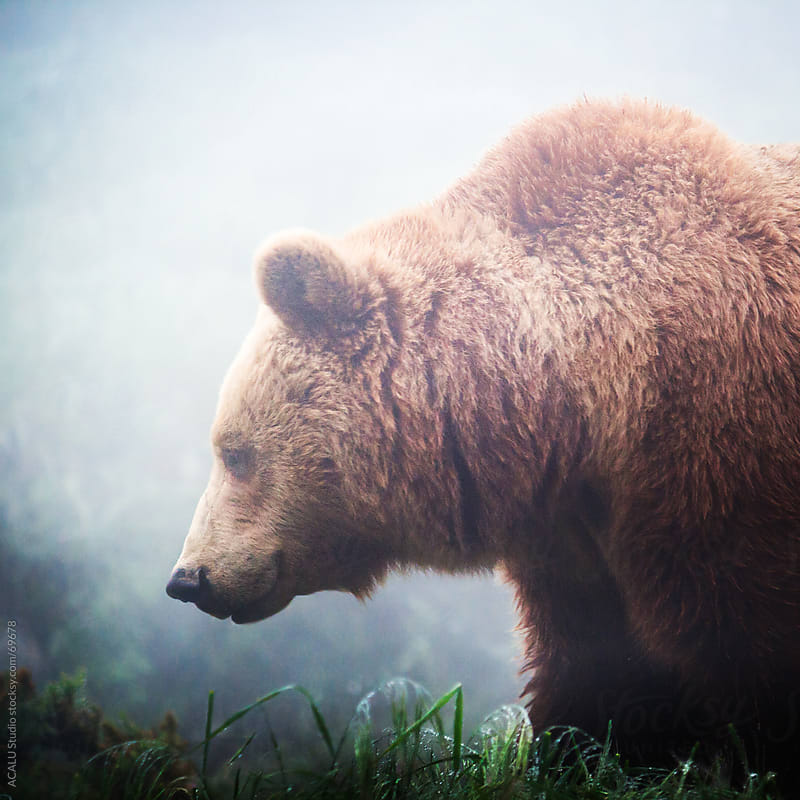 Brown bear in the natural park by ACALU Studio for Stocksy United