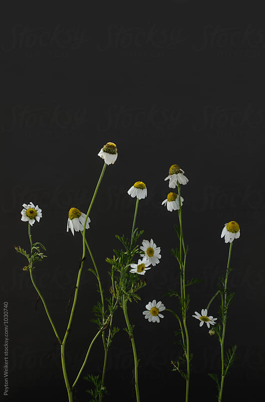 Growth of multiple daisies against dark gray background by Peyton Weikert for Stocksy United