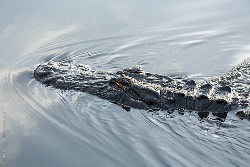 American alligator swimming in the water by Adam Nixon for Stocksy United