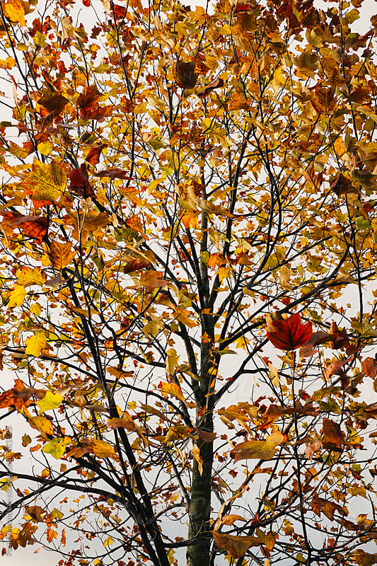 Maple tree in autumn, sunlight shining through leaves by Paul Edmondson for Stocksy United